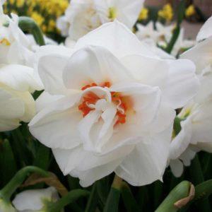 Daffodil Acropolis