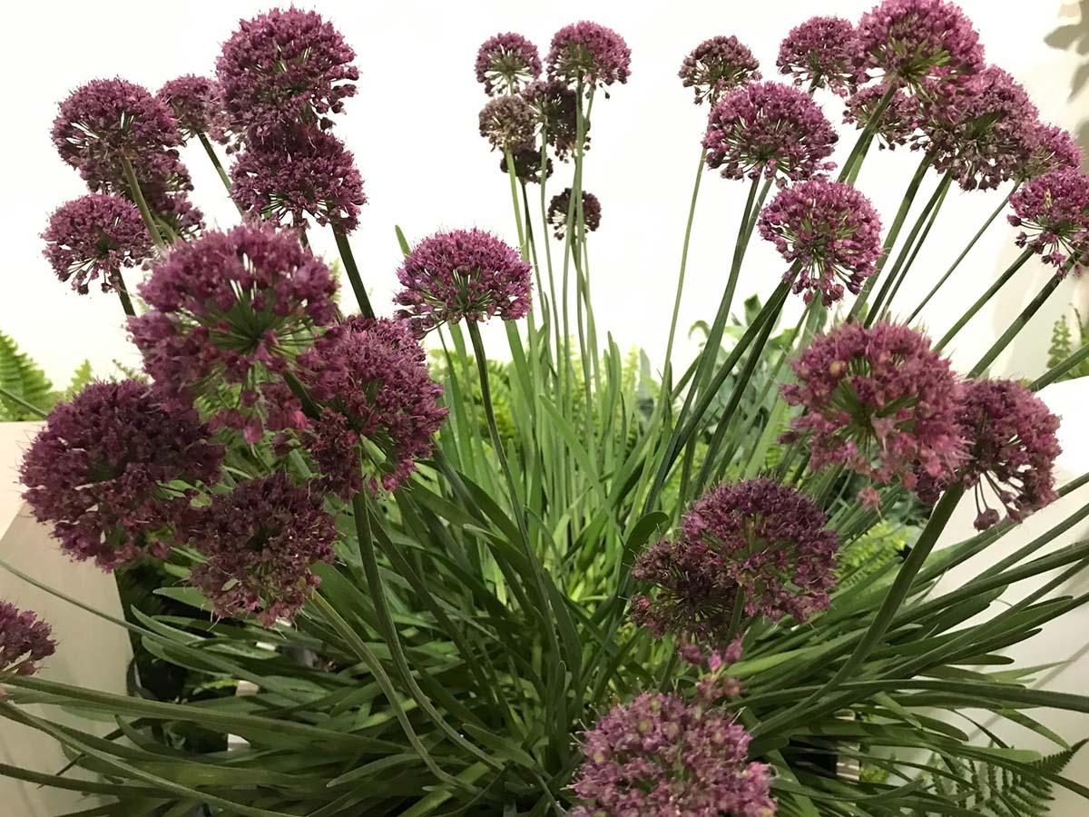 Allium 'Lavender Bubbles'