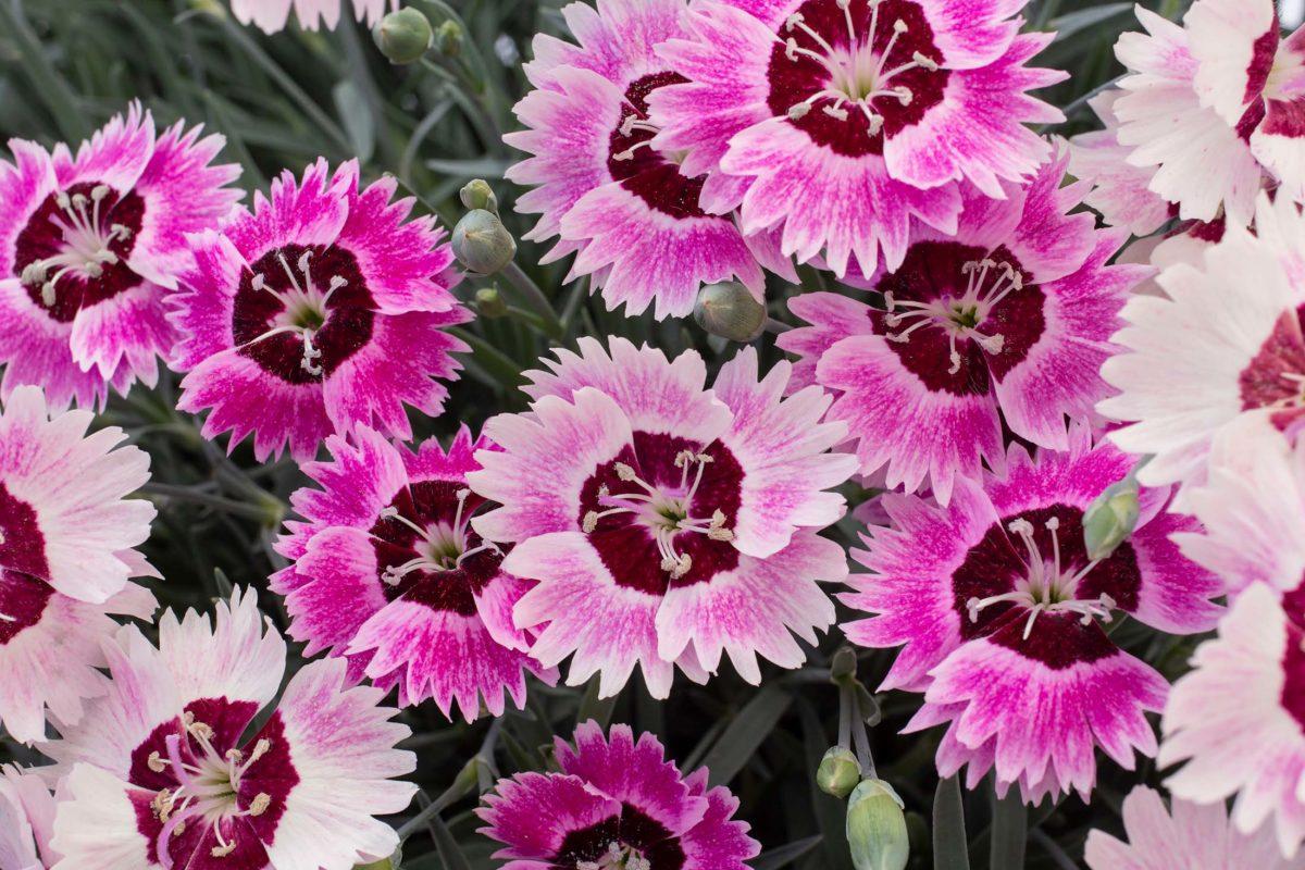 Dianthus 'Berry Blush'