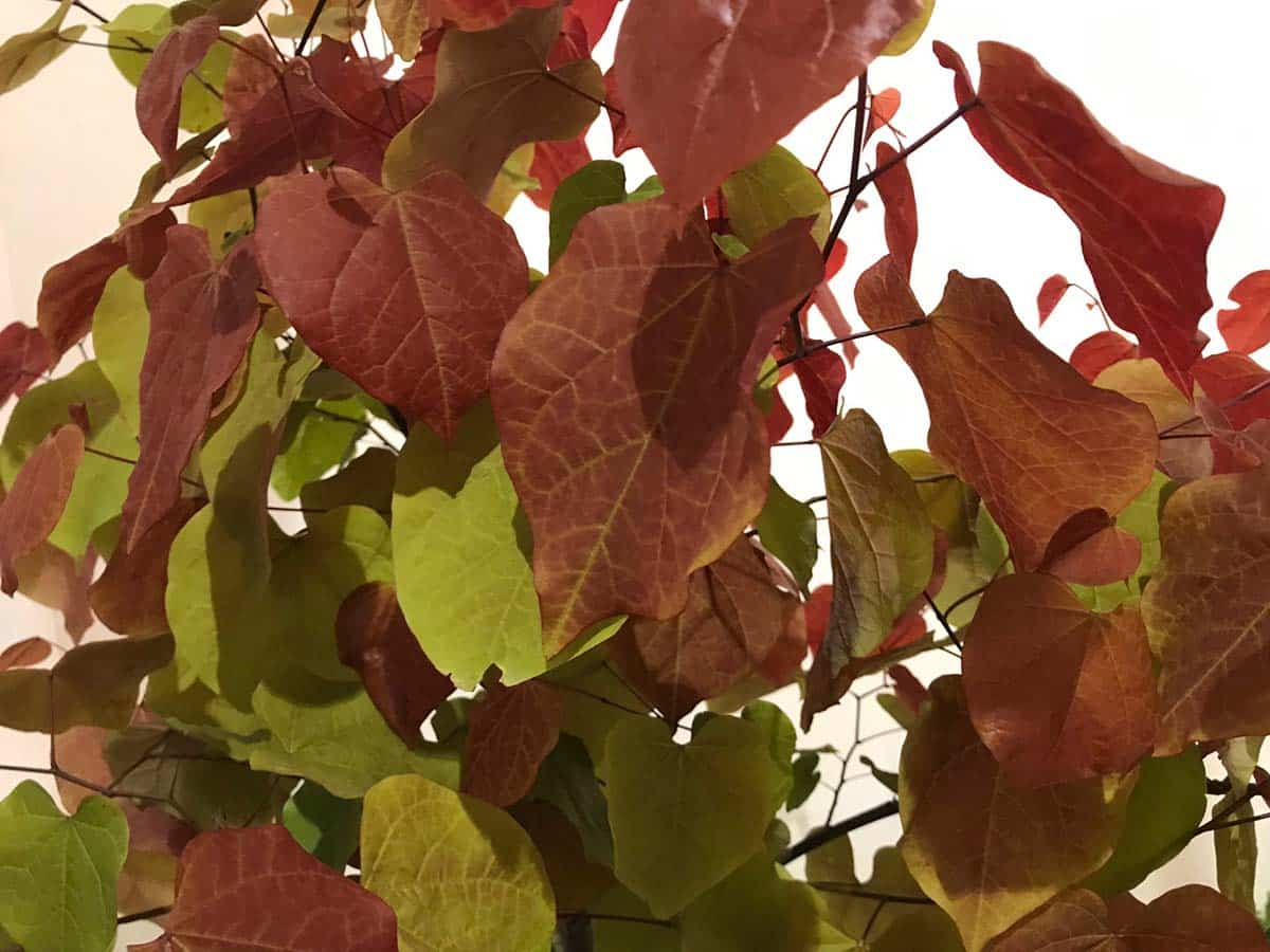 Cercis canadensis 'Eternal Flame'