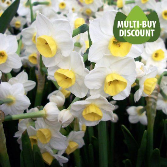 Daffodil Avalanche