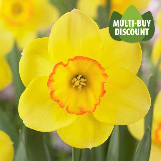 Daffodil Pacific Rim