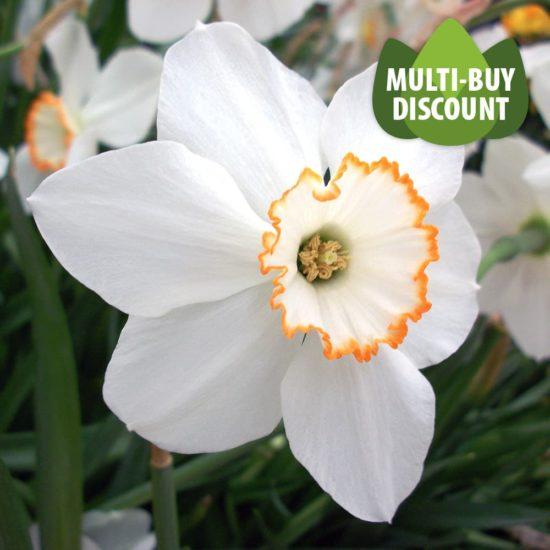 Daffodil Red Start