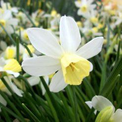 Daffodil Sailboat