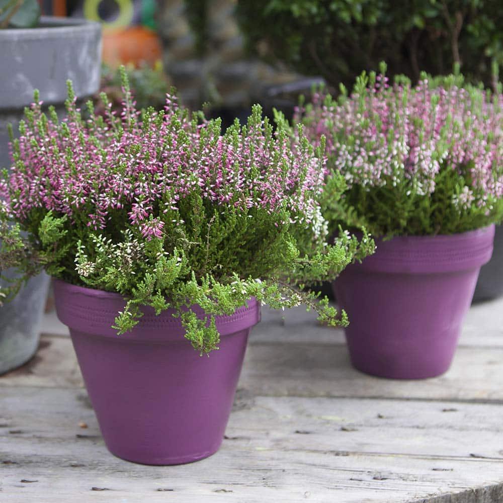 winter heathers in purple pots